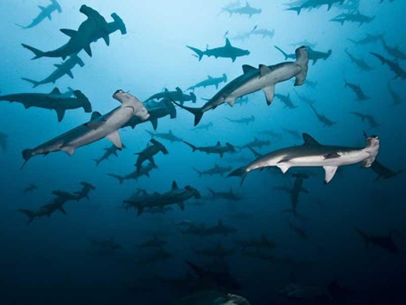 tiburones martillo costa rica