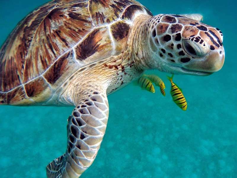tortugas marinas maldivas